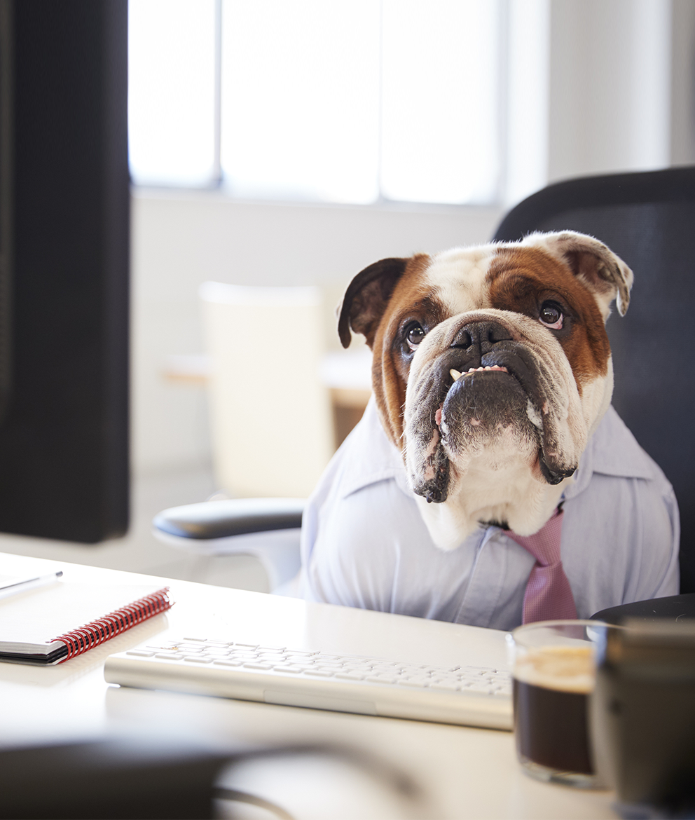 Bulldog sitting in an office chair at a desk with a suit and tie on