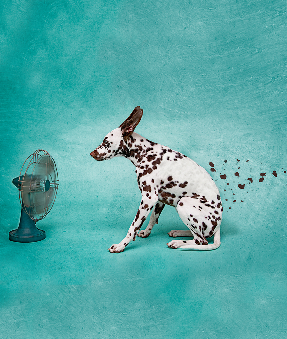 Image of dalmation dog in front of a fan with ears flying back and spots flying off of the dog
